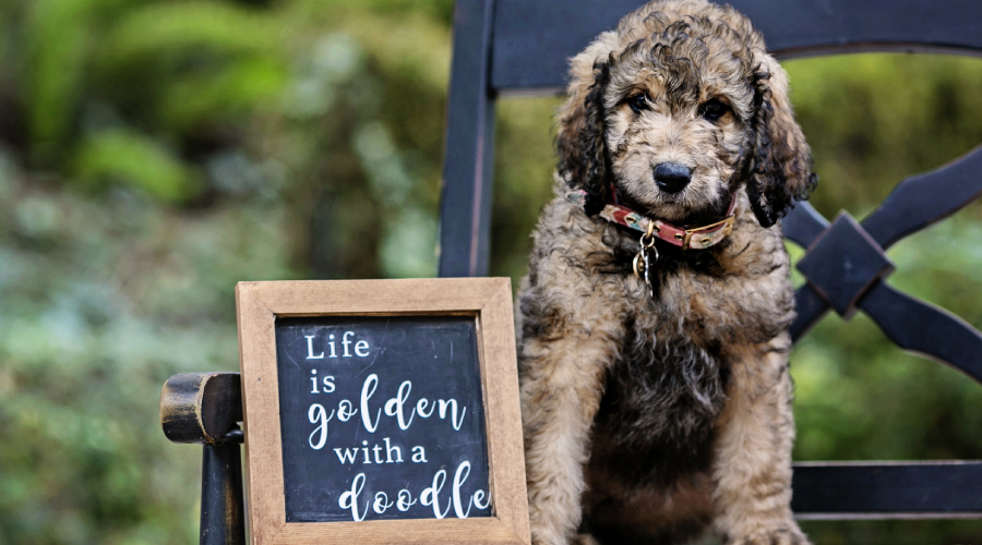 things to know before hiking with your goldendoodle