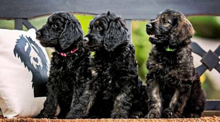 3 goldendoodles dog to adopt