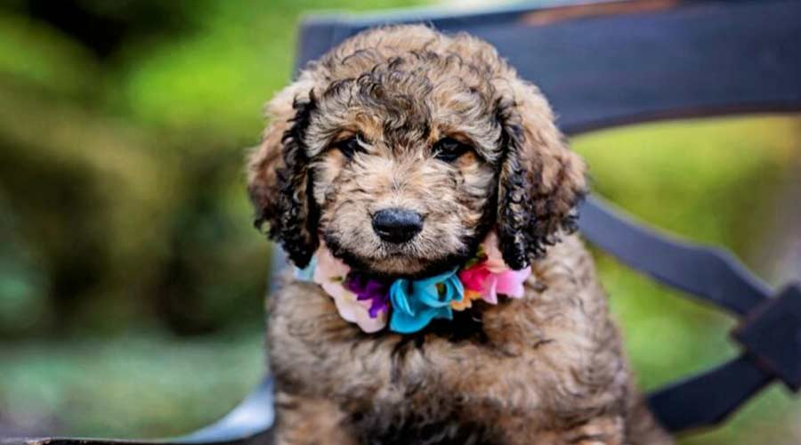 cute goldendoodle puppy is on the chair