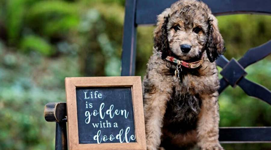 keep your black goldendoodles puppy healthy