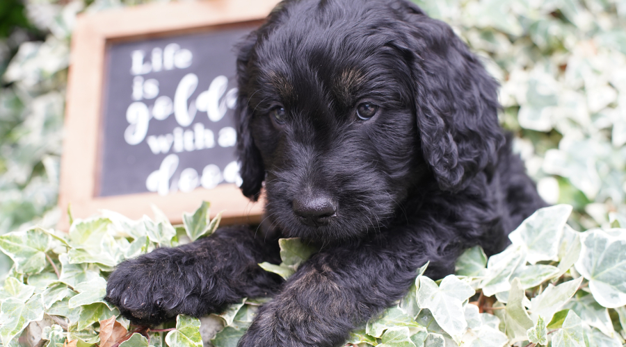 advice for new owners of goldendoodle puppy