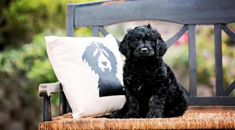 a black goldendoodles dog is on the bench