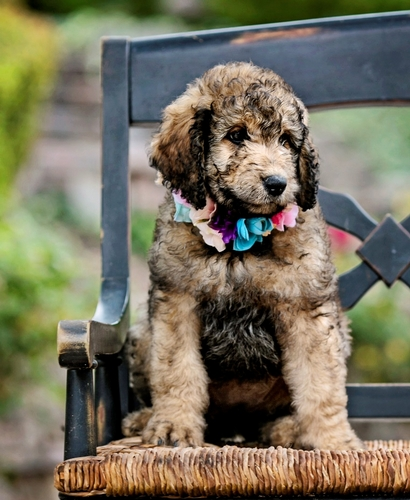 cute goldendoodle puppy on the chair in guardian home