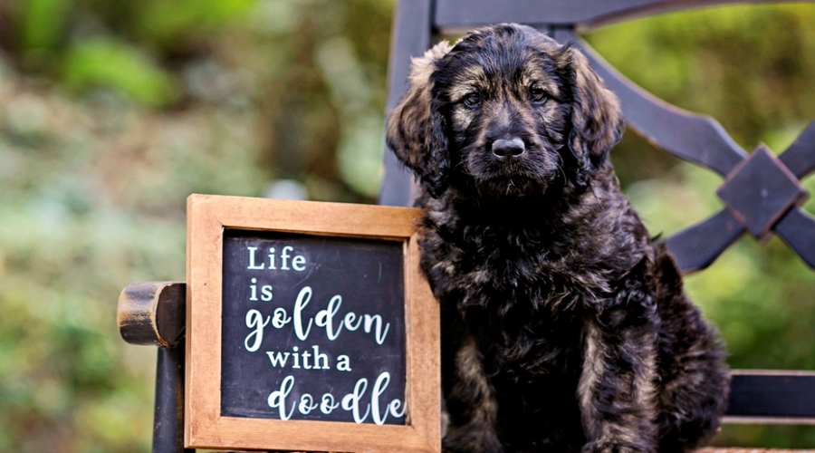 tips to socialize your goldendoodle dog