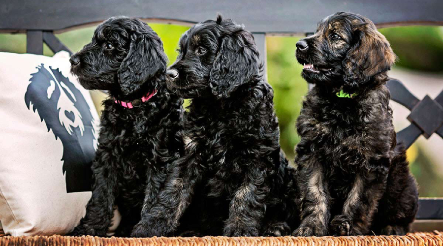3 black goldendoodles dogs to adopt