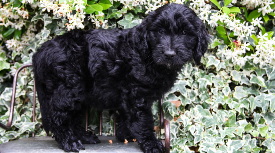 buy a trained mini goldendoodles puppy