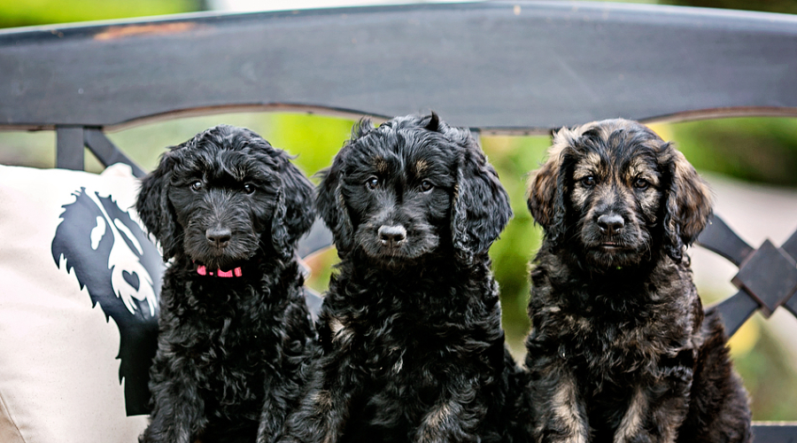 train these 3 black goldendoodles dogs