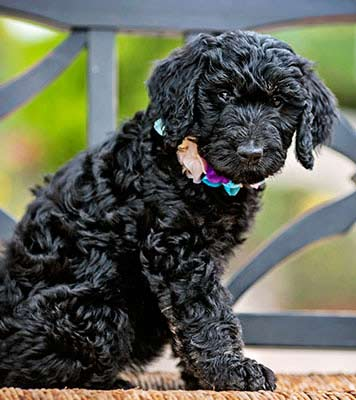 buy a trained mini goldendoodles puppies