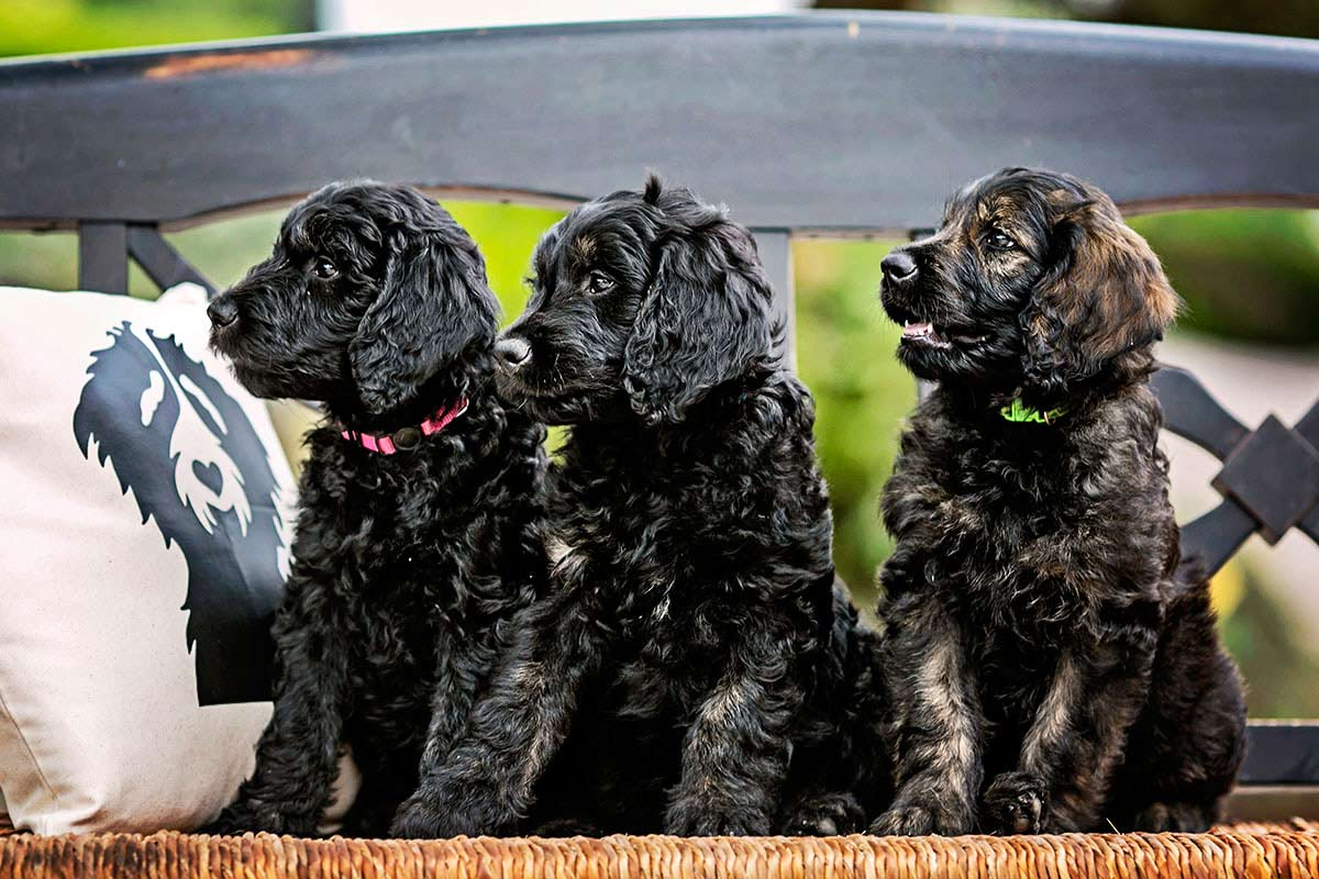 black goldendoodles puppies for your family