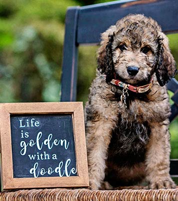 mini goldendoodles puppy is available to adopt