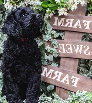 cute black goldendoodles puppy for your family