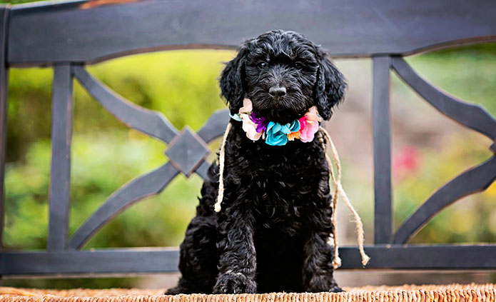 black goldendoodles breed for your family