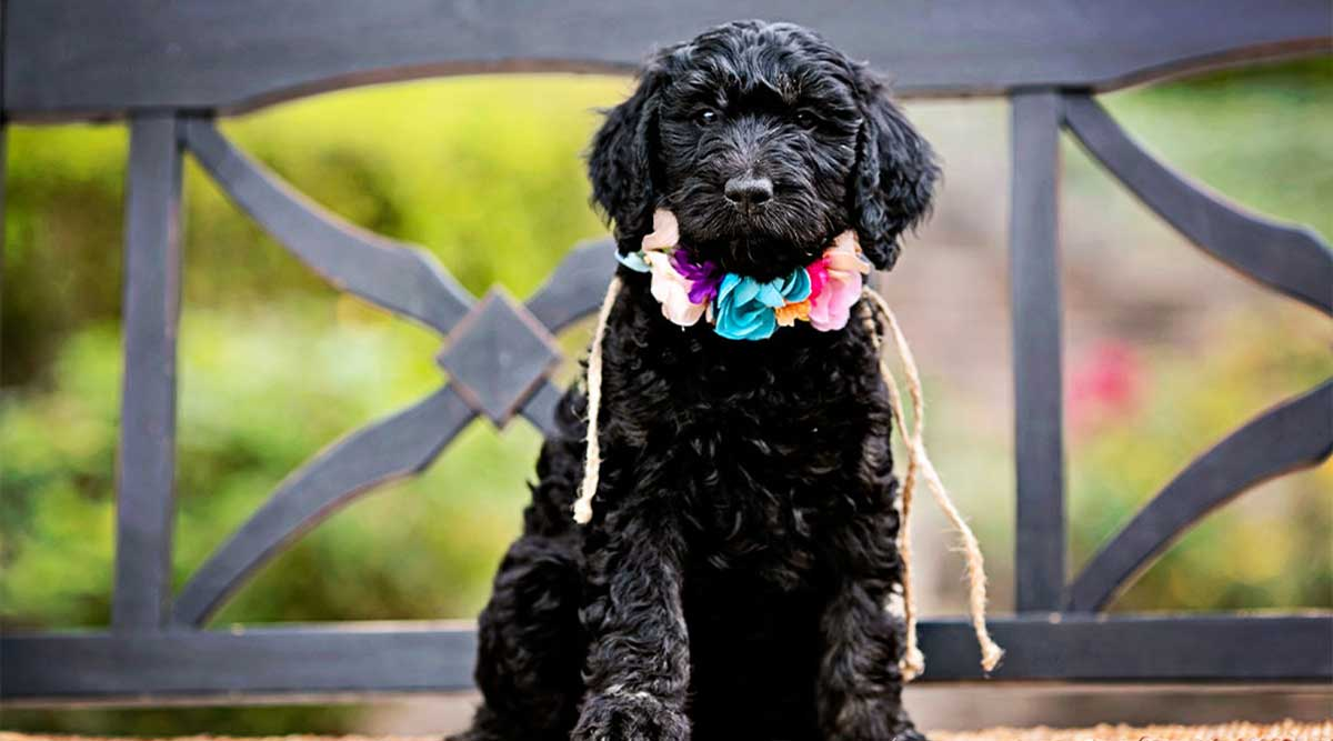 First Aid Kit List for Goldendoodles- Get Prepared Ahead of Time
