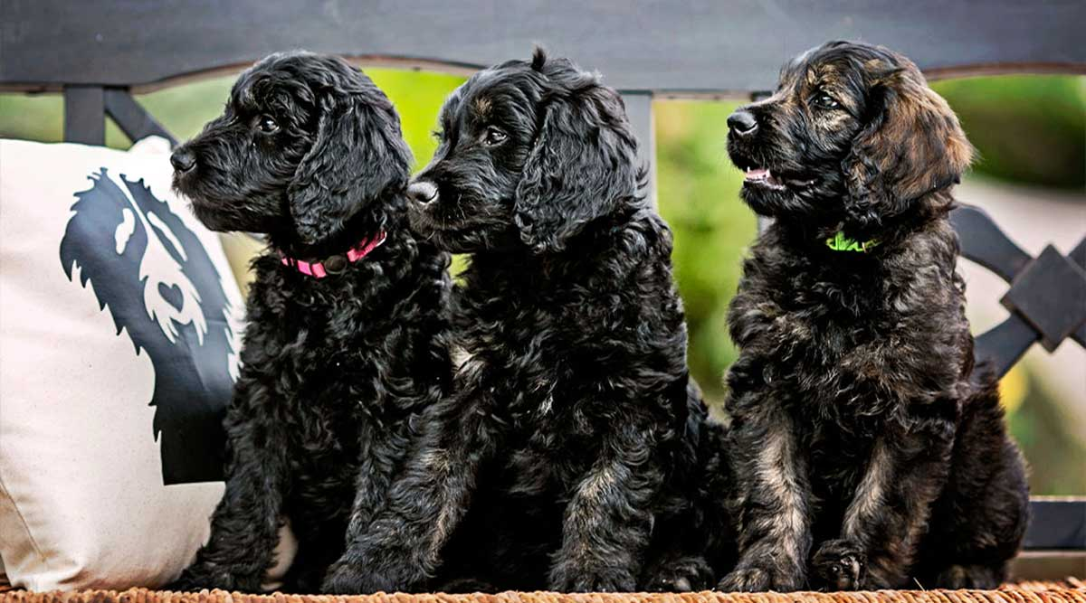 Top 5 Smart Tips for Choosing the Right Toys for Your Goldendoodles