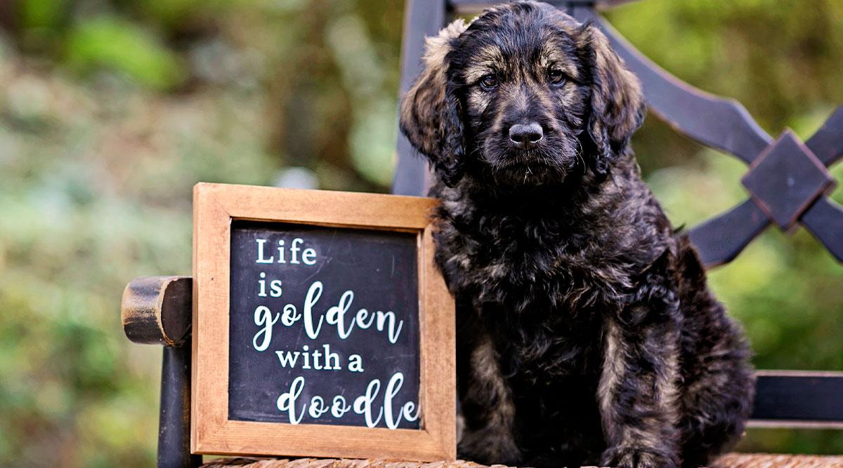 10 Best Dog Food for Goldendoodles