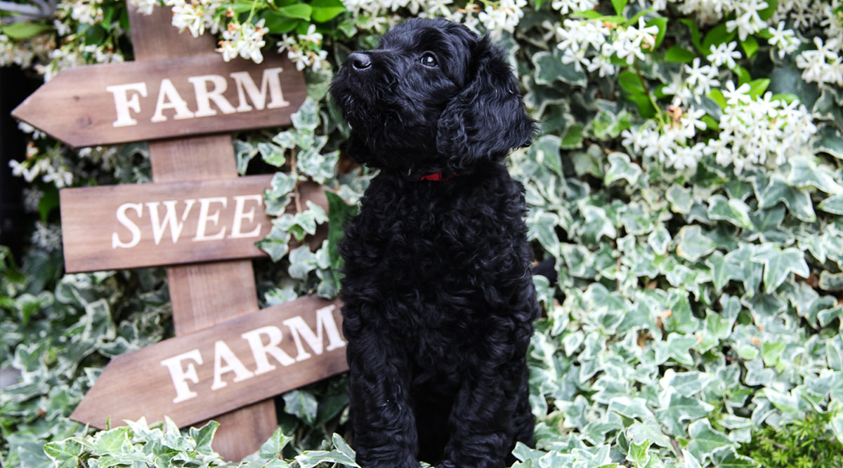 Are Goldendoodles Easy to Train? 5 Easy Training Tips