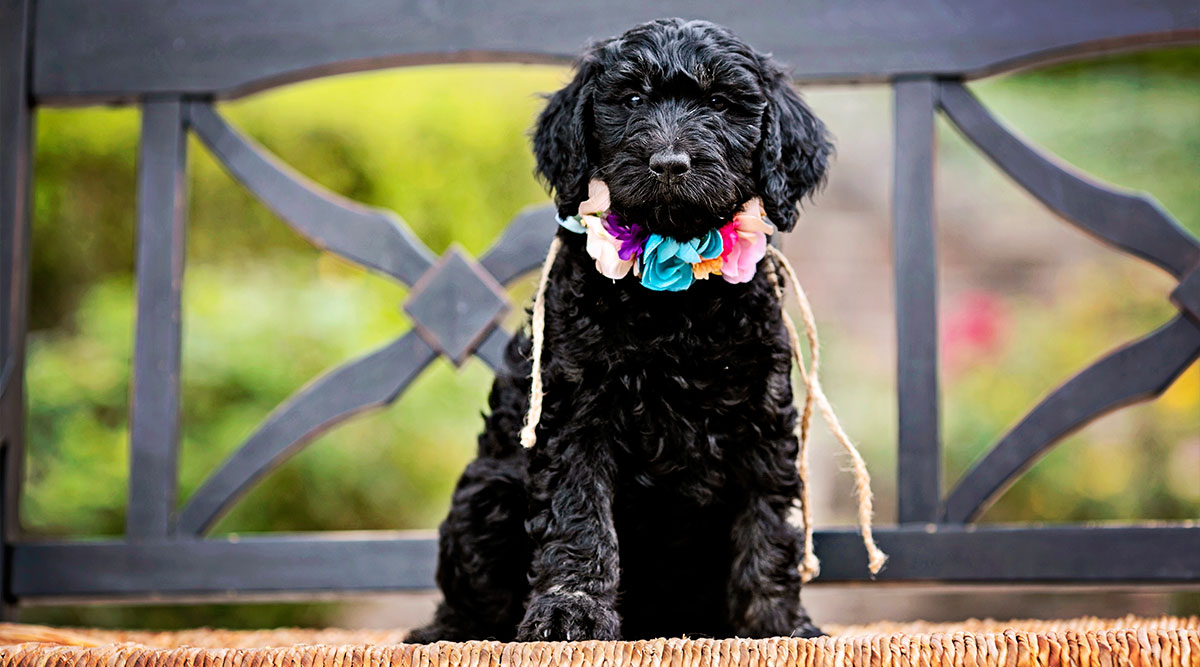 Everything to Know About Goldendoodle Personality