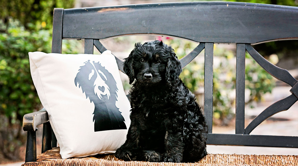Know Your Dog: Difference Between F1 and F1B Goldendoodles