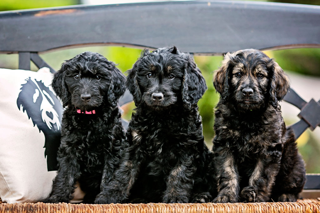 What is the F1 Goldendoodle?
