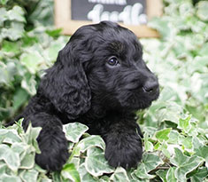 Goldendoodle-Grooming-6