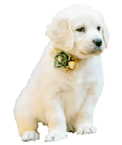 Goldendoodle-Puppies-and-Dogs-San Antonio
