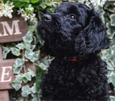 Goldendoodles-Health-and-Wellbeing