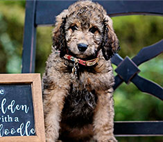 Selecting the Goldendoodle