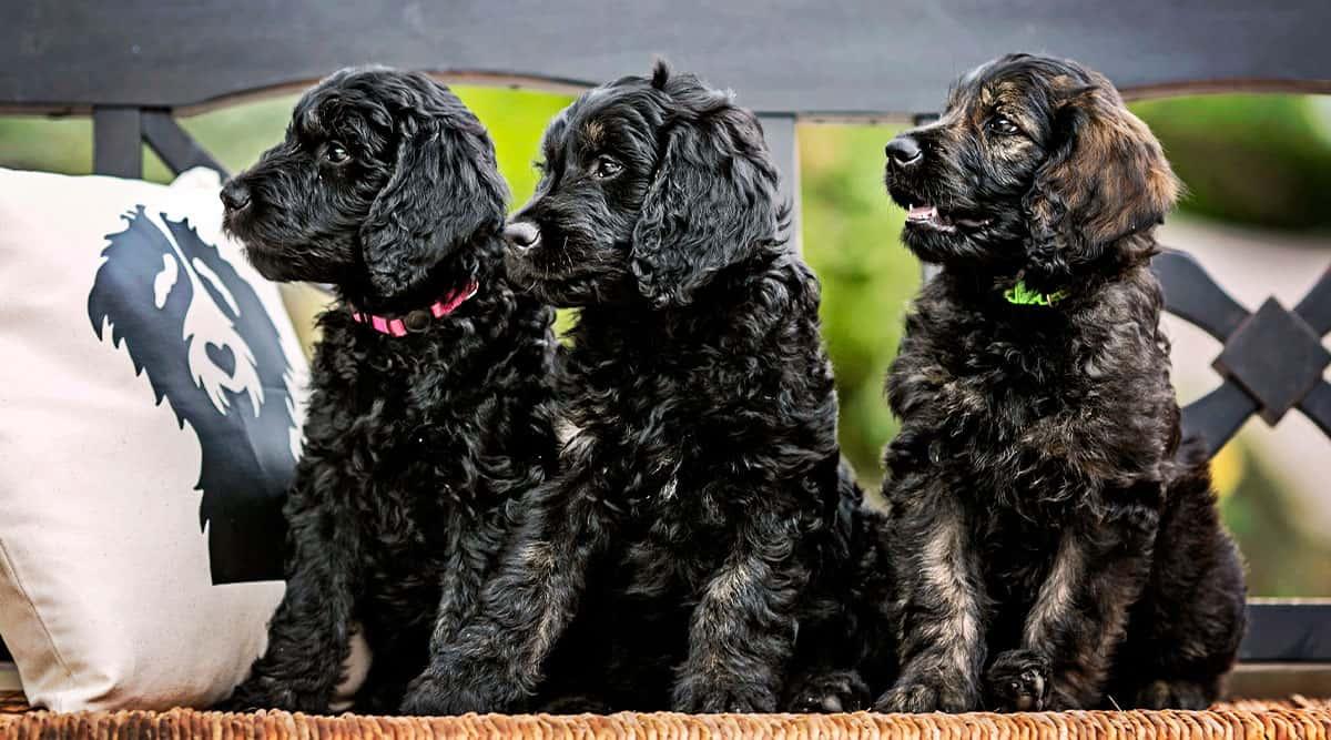 100 Examples of Goldendoodles Service Dog Tasks