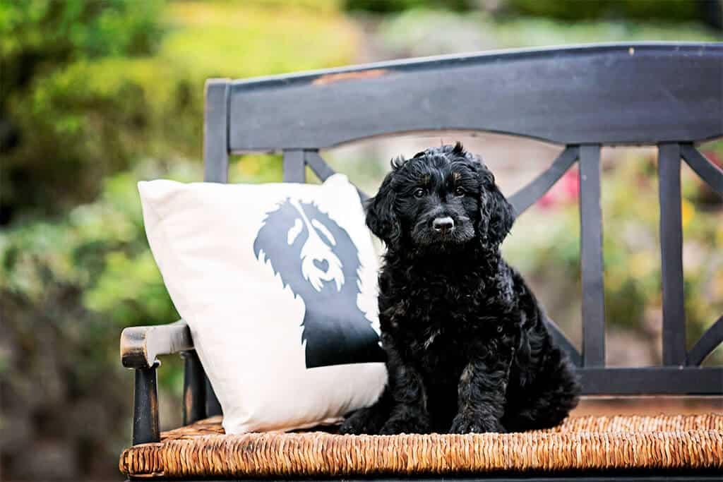 Service Goldendoodles Myths: 6 More Common Service Dog Misconceptions