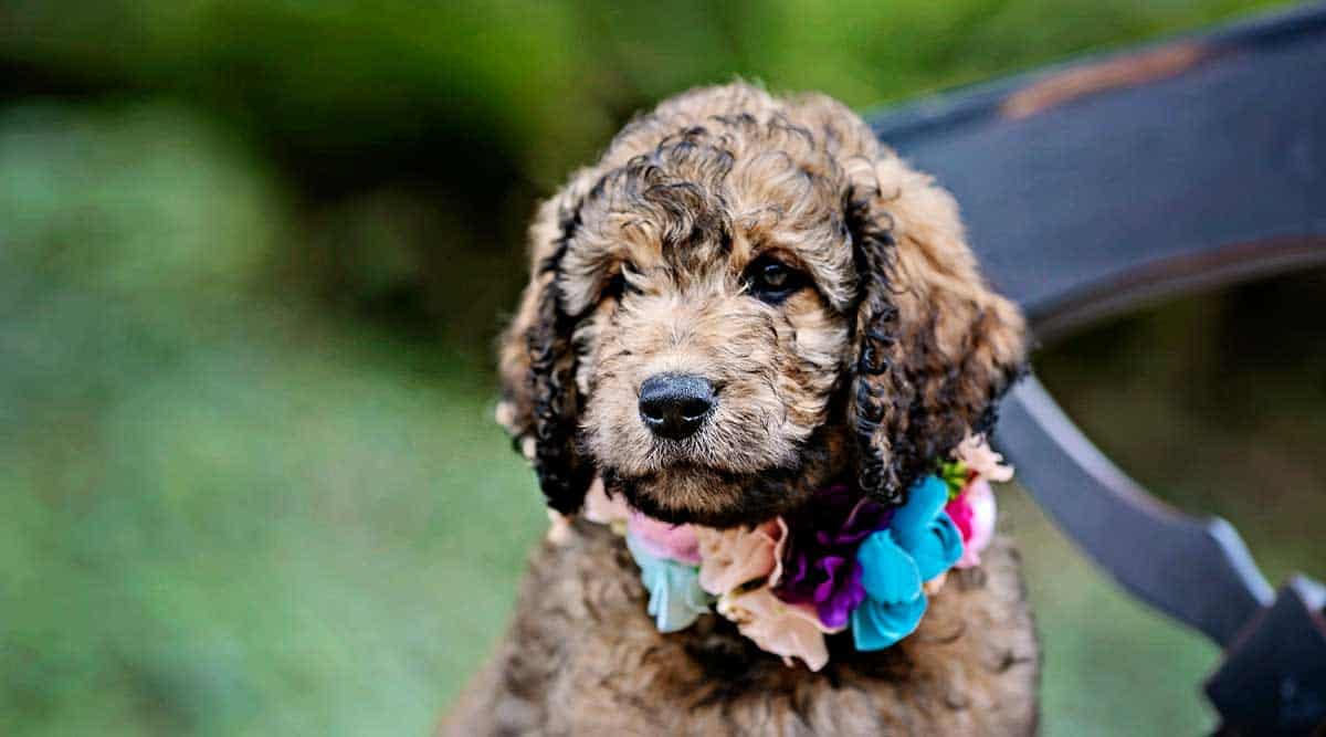 What Traits Can Qualify Or Disqualify A Goldendoodles From Becoming A Service Dog?