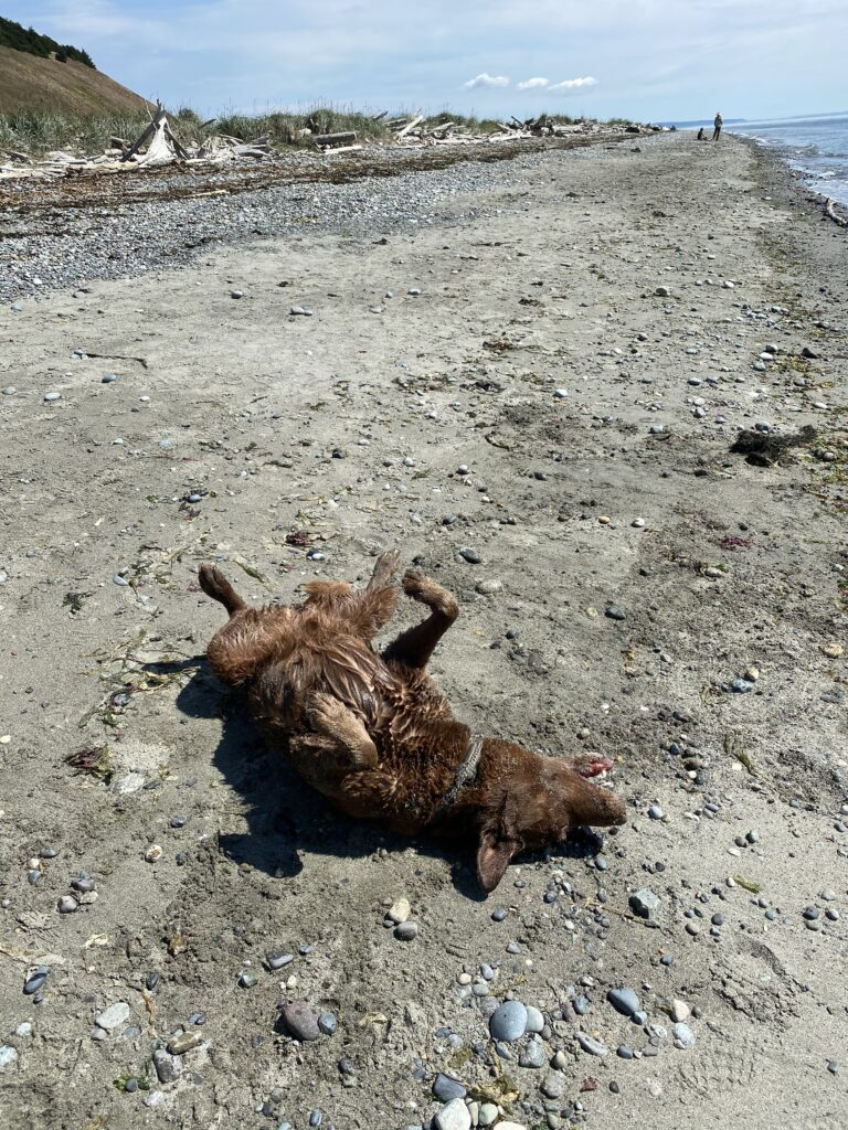 Toohey loves rolling in sand and dirt after swimming