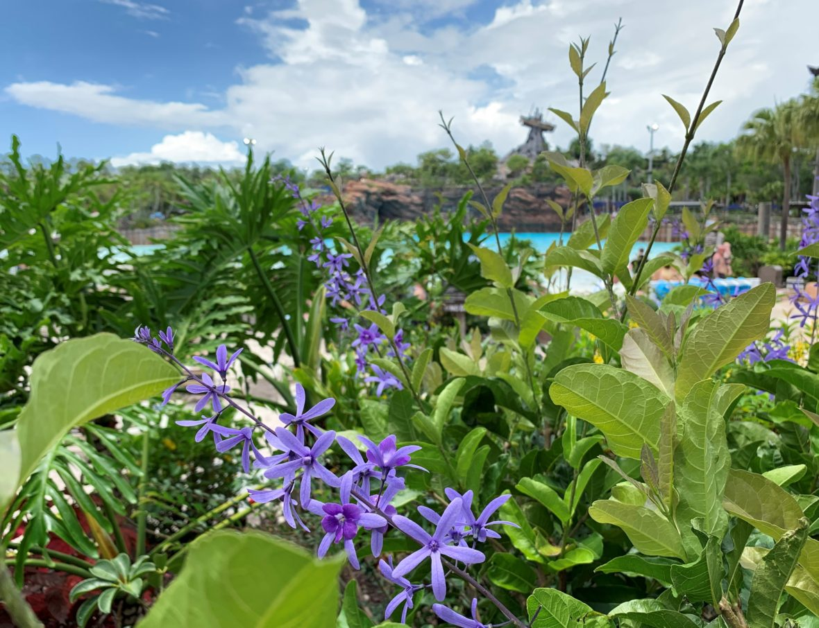 Purple flowers in front of the wave pool and Miss Tilly at Disney's Typhoon Lagoon