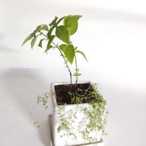 Italian Basil and Thyme in a Matt white ceramic planter