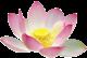 pink lotus flower mini 80x54