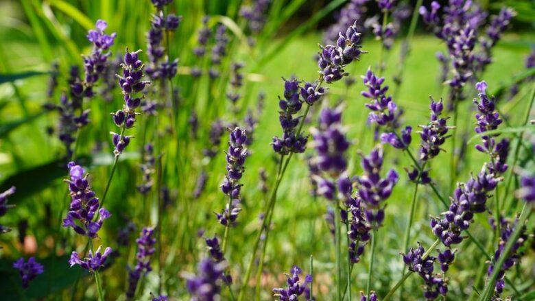 Natural Way to Keep Bugs Away Lavender