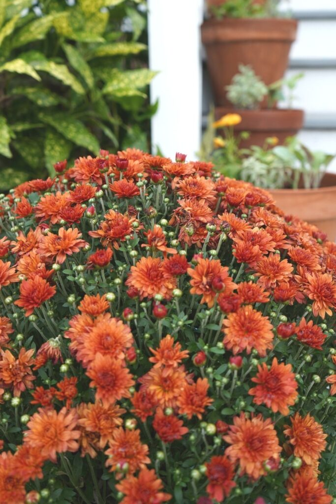 Fall Front Porch Mums