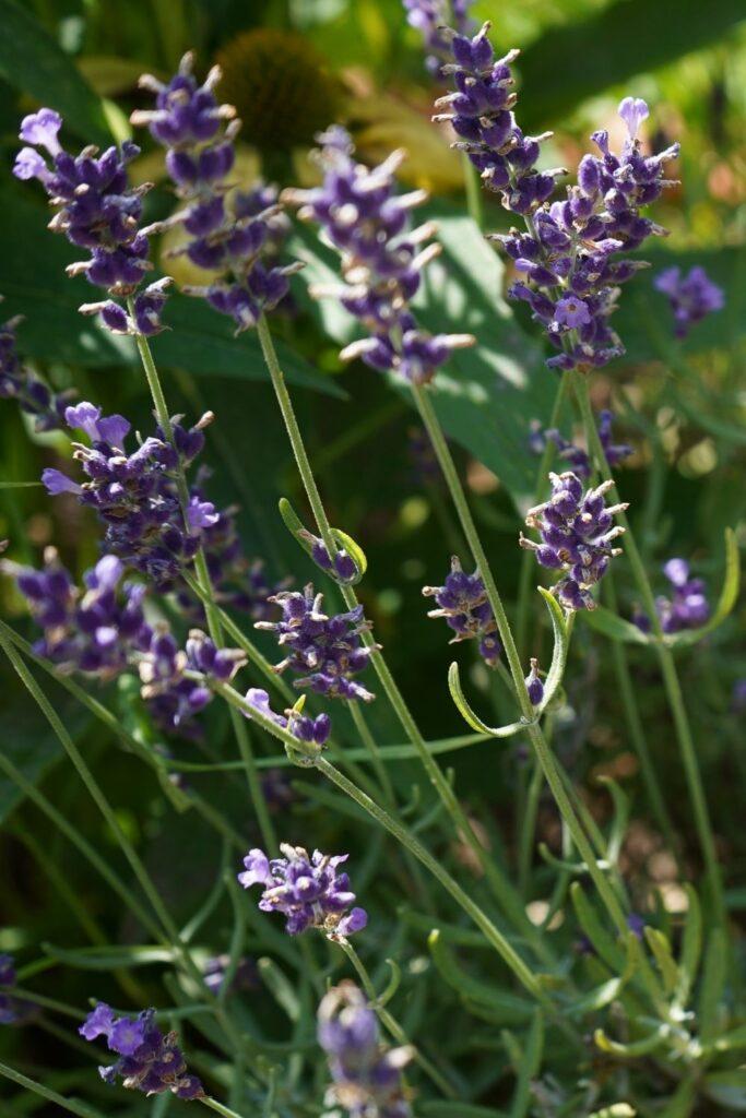 Lavender housewarming gift
