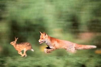 fox-and-rabbit