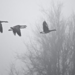 The Geese in the Fog