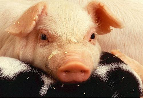 Pig bacterial diseases