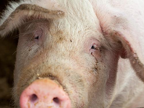 pig euthanasia