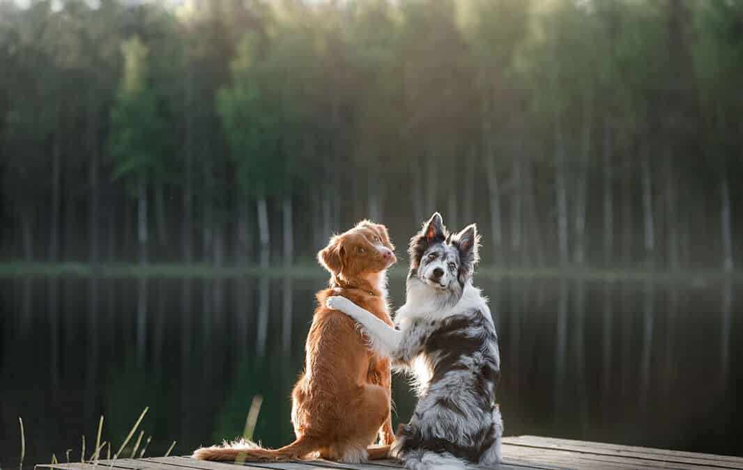 Two dogs sit together on a dock by a lake