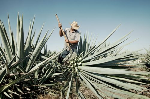The Spirits of the Agave and Tequila