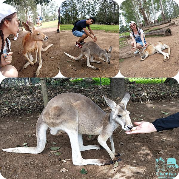 澳洲圖片-龍柏動物園(袋鼠)