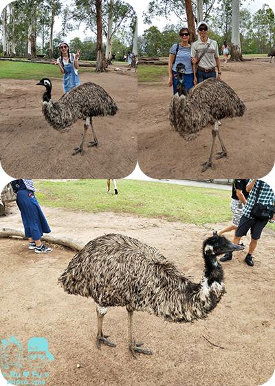 澳洲圖片-龍柏動物園(EMU)