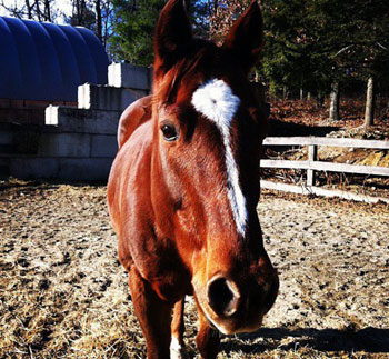 Ranger Quarter Horse Gelding