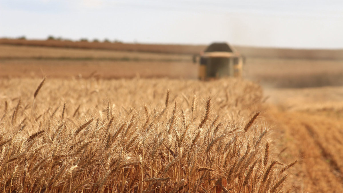 A field of wheat being harvested