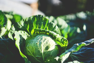 A cabbage in a garden