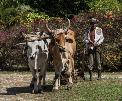 oxen in Cuba