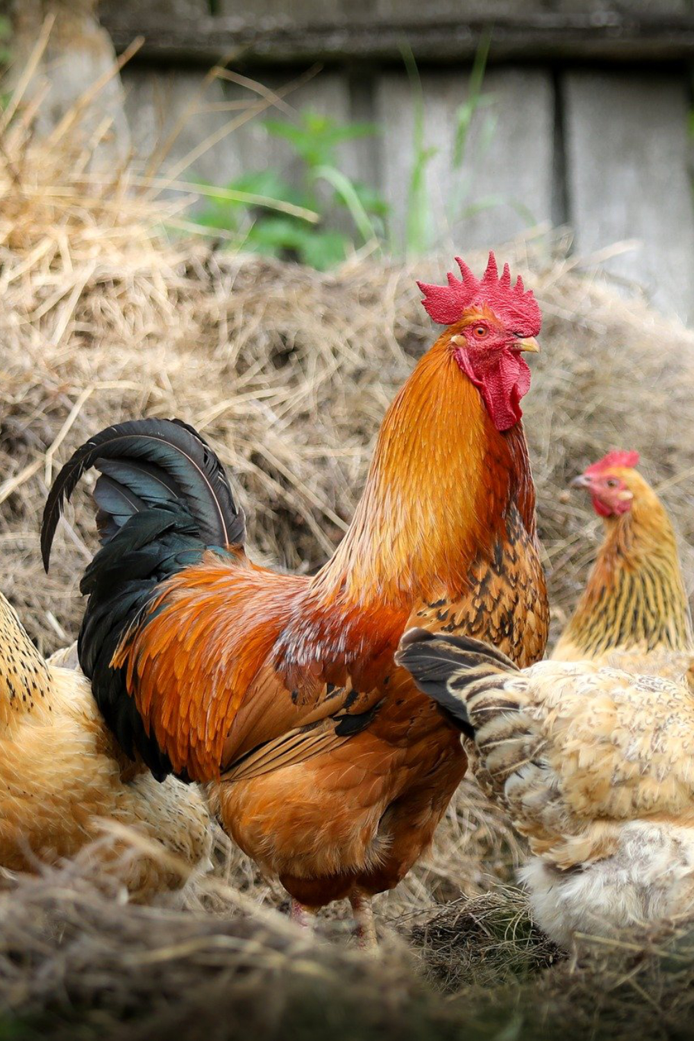 Prepper Diary February 21: Our Chicken Coop Plans Get Updated